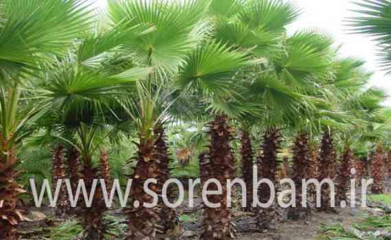 درختان کهنسال وتنومند|فروش| انتقال