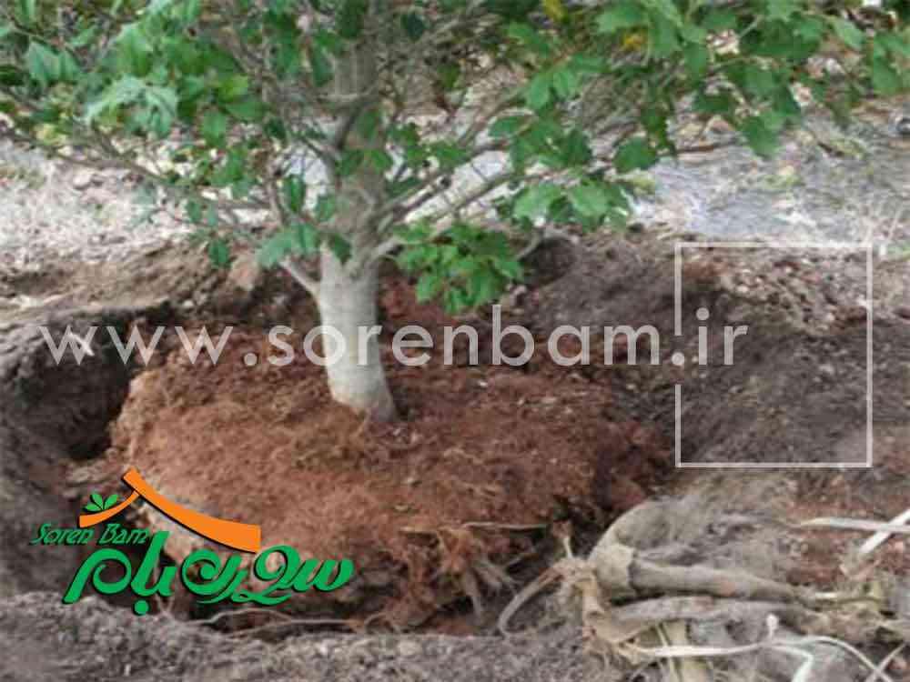جابه جایی و کاشت درختان تنومند