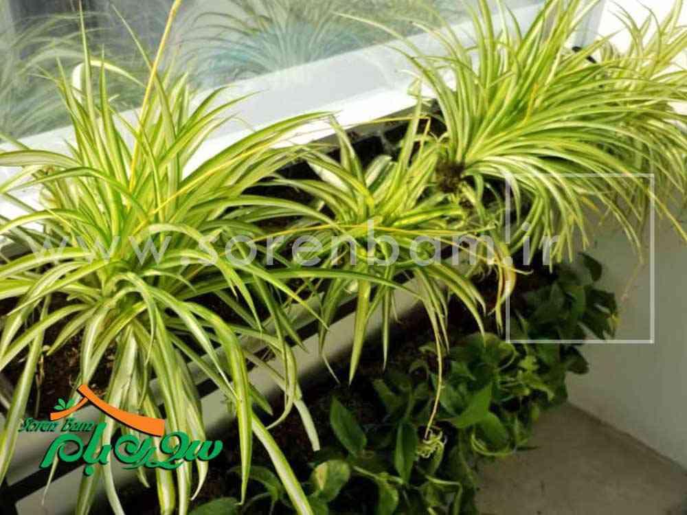 گیاهان دیوار سبز نان سحر
