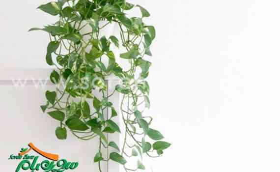 گیاهان رونده آپارتمانی