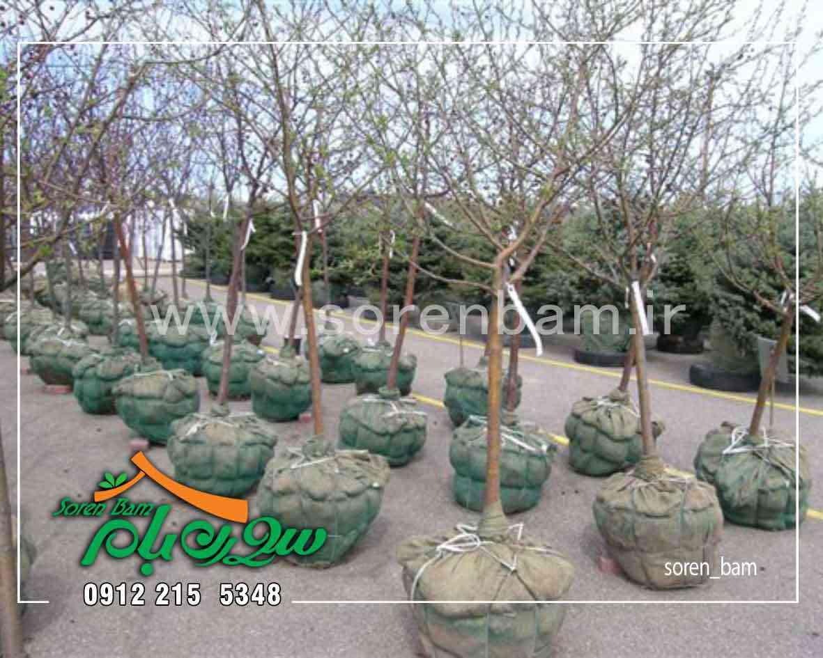فروش درختان بزرگ و نحوه جابجایی آنها