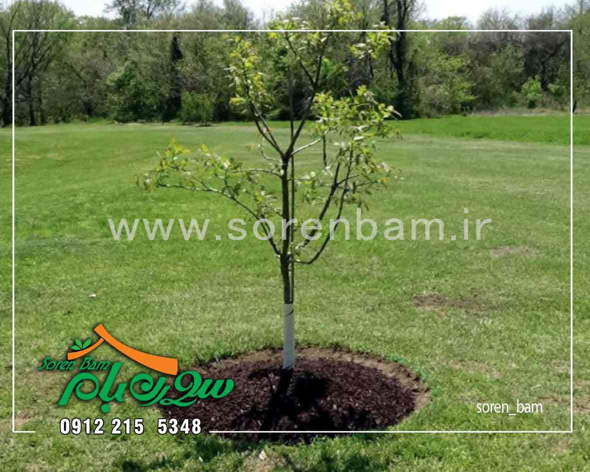 کاشت درختان